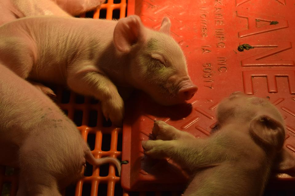 Newborn piglets at the Mann Valley Farm.